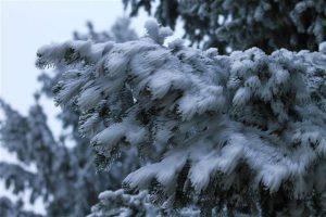 Schnee auf den winterlichen Tannenzweigen